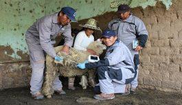 Inseminación artificial permite nacimiento de más de 2700 ovinos mejorados genéticamente en Espinar