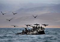 Monitoreo de Camisea registró más de 14.5 millones de aves de 148 especies en la Reserva Nacional Paracas